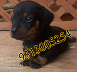 Gift a Dachshund  pup on this New Year.